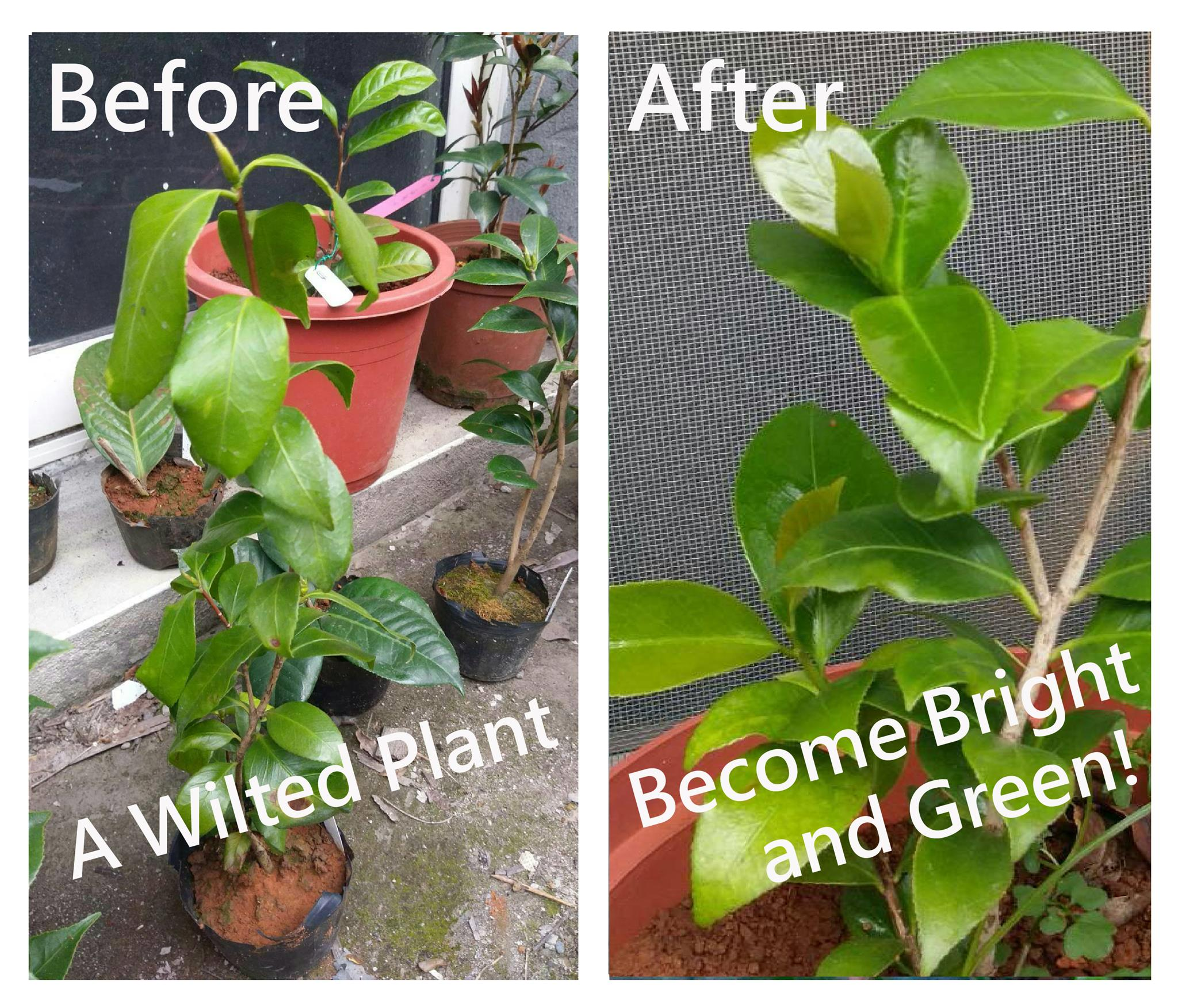 Revival How To Revive Wilted Plant